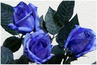 青い薔薇.jpg