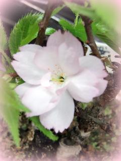 一歳桜.JPG